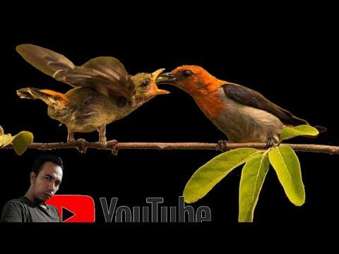 SUARA BURUNG KEMADE GACOR DAN JELAS -- MASTERAN CABE CABEAN -- BANTAL ABANG - YouTube.MKV