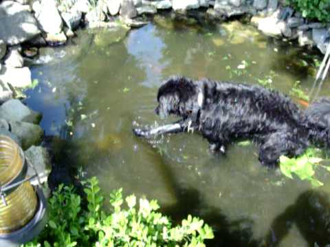 Portuguese water dog gabriel finds the fish youtube for Water dog fish