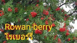 โรเบอร์รี่ Rowan-berry #คลิปสั้นๆๆฝนก็จะตกเพื่อนๆๆ 18/08/2019