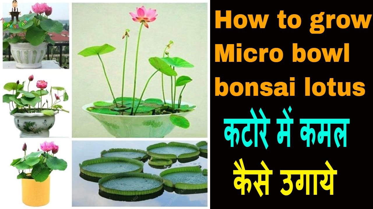 How To Grow Micro Bowl Bonsai Lotus Plant From Seeds At Home In