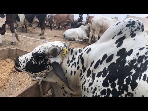 Live At Sohrab Goth Cow Mandi 2018 Latest Price Update From Block 27