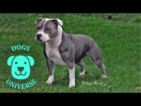 AMERICAN STAFFORDSHIRE TERRIER ► Characteristics and temperament 🐶