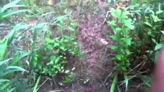 How to propagate snowball bushes ASMR394