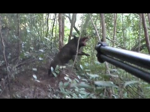 Snaring pigs with dog-safe cable neck snares, Hawaii