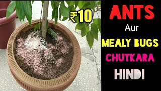 Remove ants from plants soil | use of insecticide and pesticide urdu | for hibiscus |