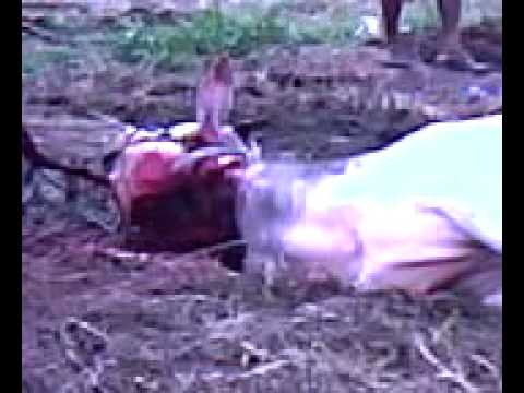 Pemotongan sapi galak