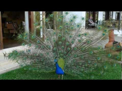 Peacock Mount Kenya Safari Club Kenya