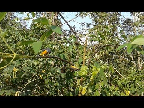 pikat burung cabe cabean dan kolibri Mp3