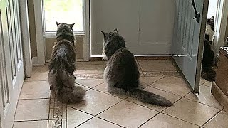 3 Fluffy Maine Coon Cats   Watching a Chipmunk