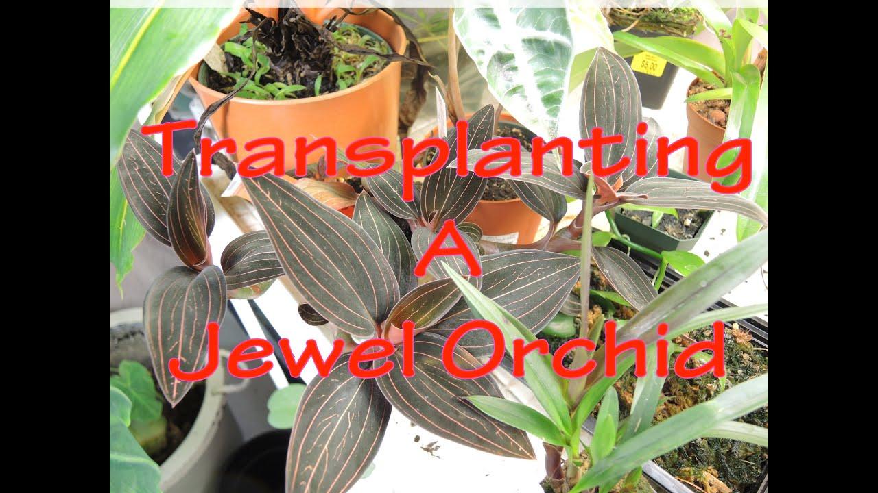Re Potting Jewel Orchid Ludisia Youtube