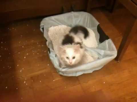 Maine Coon Baby erforscht Catsan Smart Pack