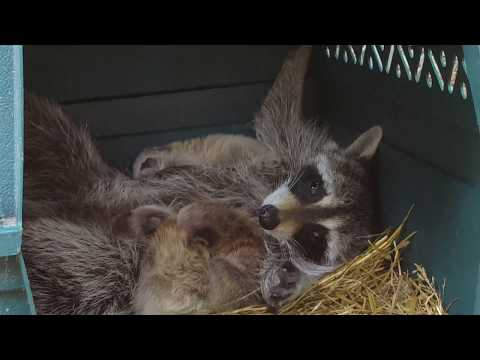 SO CUTE Momma Raccoon nursing babies ORIGINAL