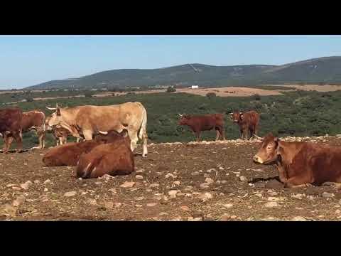 VÍDEO | Las vacas maltratadas y abandonadas de Navalpino (Ciudad Real)