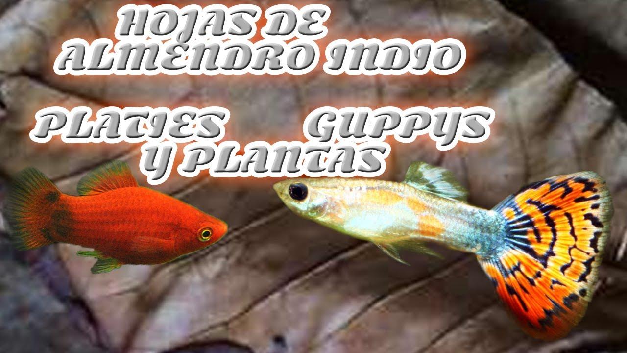 Platies guppys y plantas tratar peces sin s ntomas claros for Cuidado de peces