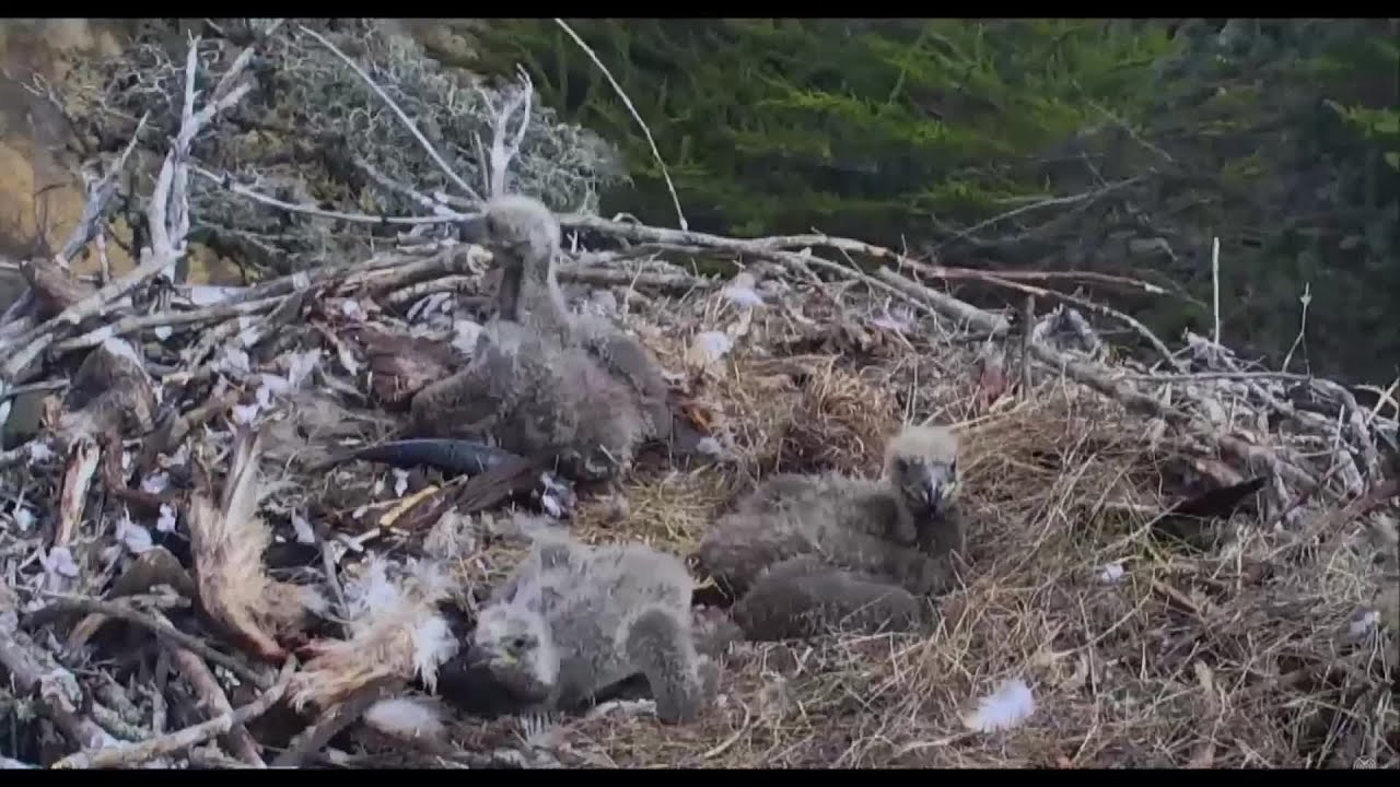 Eagle and chicks react to 5.3 quake off Channel Islands