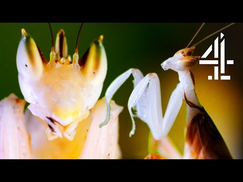 Male Praying Mantis Escapes Being Eaten Alive By Female After Mating | The Secret Life Of The Zoo