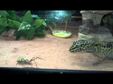 Leopardgecko eats big spider