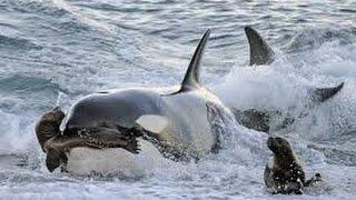 LA PELIGROSA MIGRACIÓN ANIMAL - Ballenas Asesinas atacando a Osos