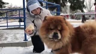 Персей (собака Чау-чау) пьёт капучино