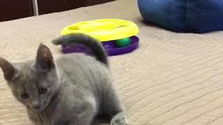 Продаются русские голубые котята! Русская голубая! Русские голубые котята! Питомник Ruzara