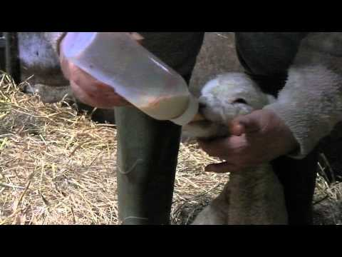 Bottle Feeding A Lamb! Just 1 Day Old... QelricIRL