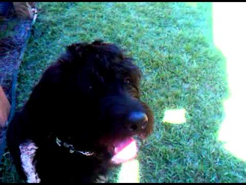 Labradoodle puppy playing fetch off leash