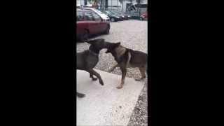 German Shepherd Against Vs Great Dane Dog Fight