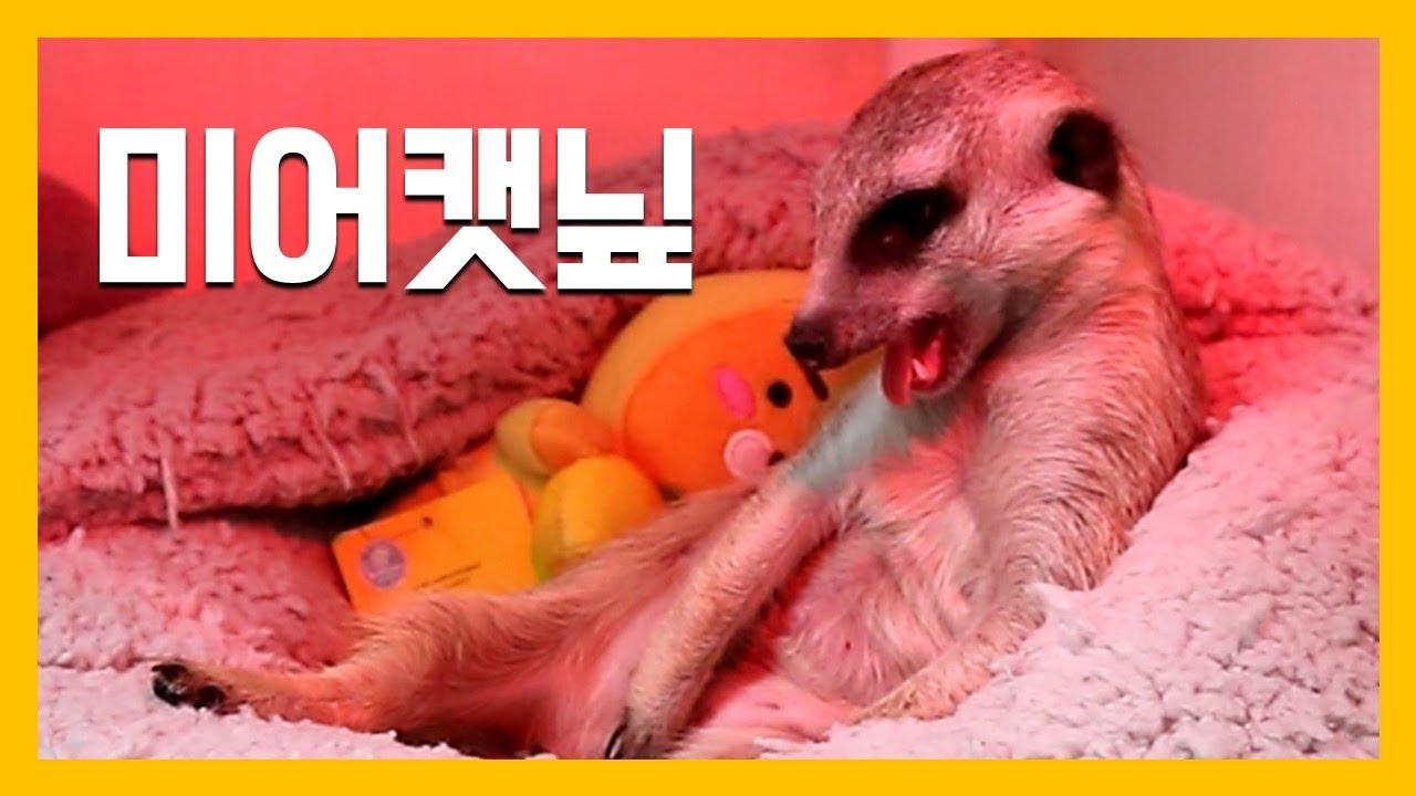 미어캣닢 [냥이아빠]