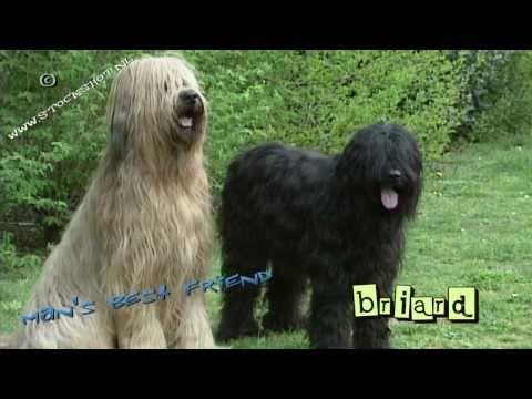 Briard #03 - puppy love