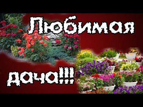 Дача. Обзор растений. Розы, лилии, настурция, лилейники и др.