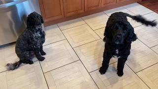 Male Portuguese Water Dog Versus Female  Black Dog is Male.  He yells at me!!