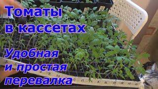 Перевалка рассады томатов из кассет. Выращивание и уход за рассадой томатов