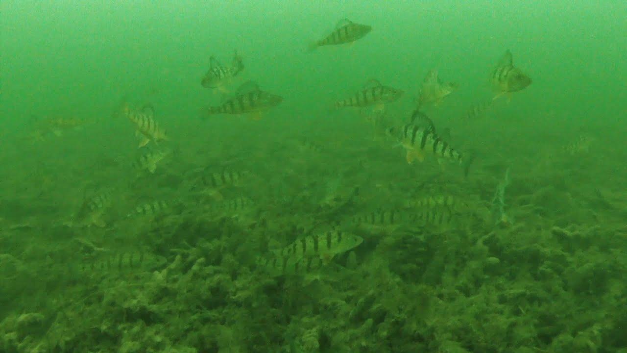 Lake Simcoe Perch Underwater Footage 2016 - YouTube