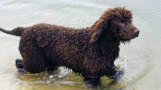 Irish Water Spaniel - medium size dog breed