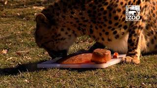 Cheetah Donni Celebrates His 3rd Birthday - Cincinnati Zoo
