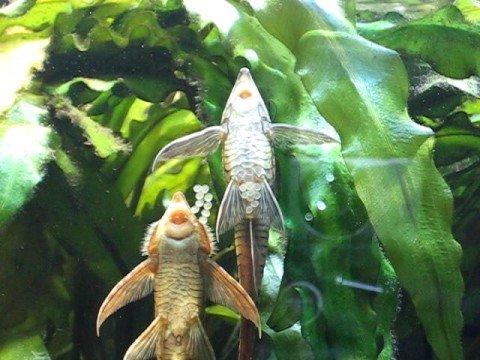 Royal whiptails spawning