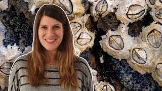 Barnacle Penises Can Teach You A Ton About Biology