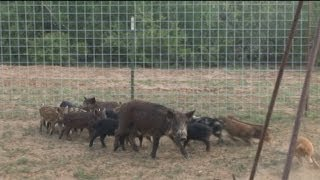 A Hunting Show Part 17: South Texas Hog Trapping