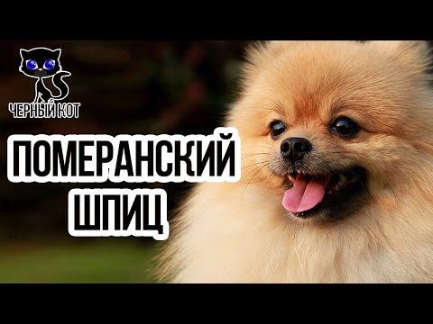 Померанский шпиц / Интересные факты о собаках