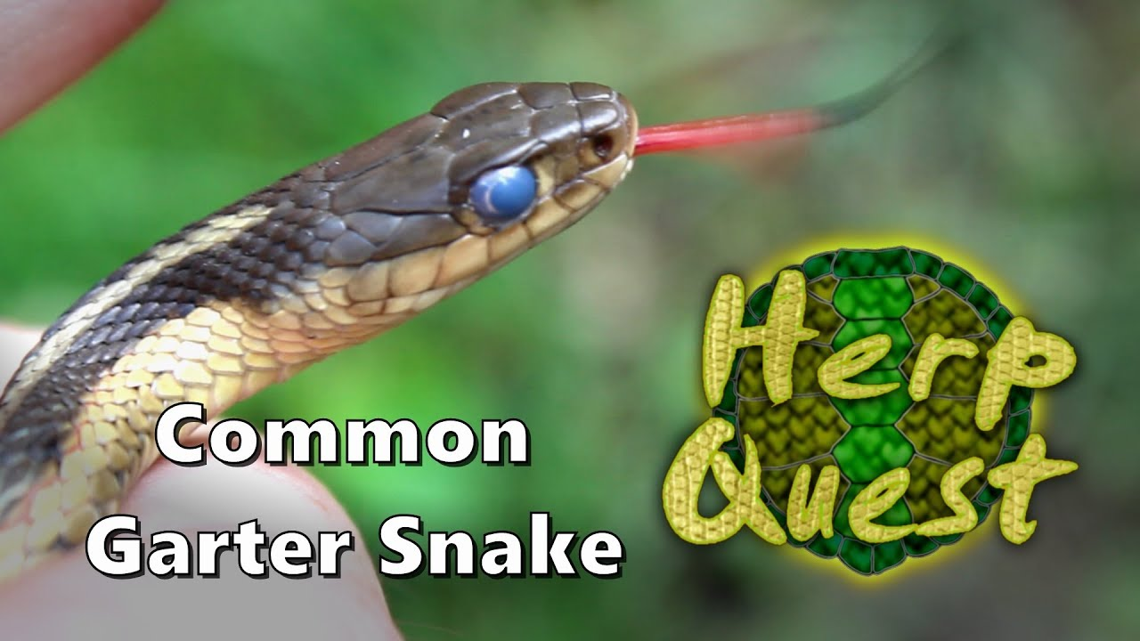 Common Garter Snake Herp Quest 2 Herpetology Education Youtube