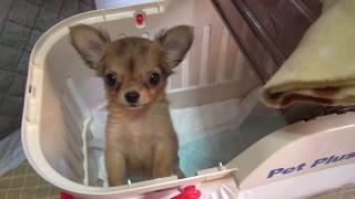 初めて子犬を飼う方に特に見てほしい動画です。ココちゃん、がんばって...