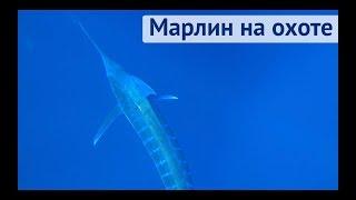 Марлин преследует яхту охотится на тунца Трансатлантика