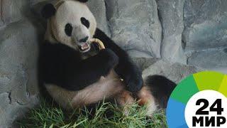 Панда Диндин в Московском зоопарке спаслась от тепла специальными ваннами