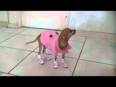 chihuahua's new shoes