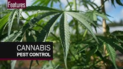 How cannabis growers use natural pest control