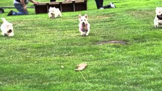 Westie Races - Fun Daze Seattle Wa - Video 1