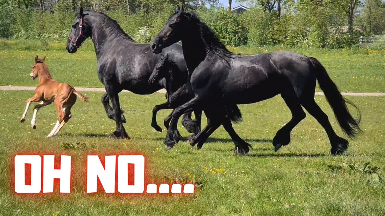 Rising Star and Queen👑Uniek together with the other mares with foals | Friesian Horses