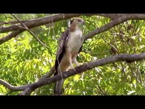 Changeable Hawk Eagle Call
