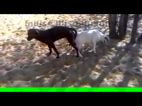 Misdirected Mating Between a Dog and a Goat