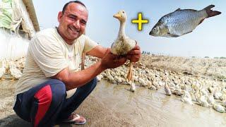 मछली+बत्तख रख कर की10 एकड़ से ज्यादा कमाई|SS Duck and fish farm KARNAL HARYANA IN INDIA